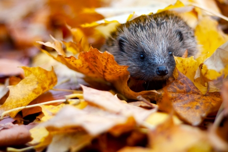 Hedgehog_c_Tom_Marshall-14 Edited