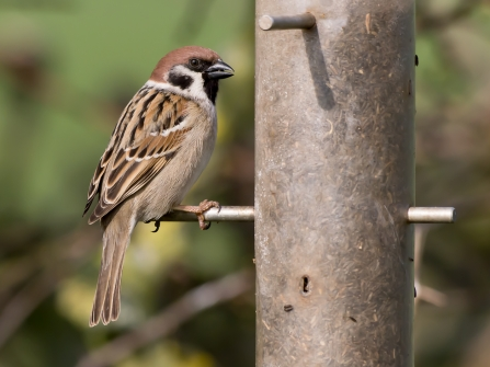 Tree Sparrow Notts WT cpt Andrew Parsons (2)