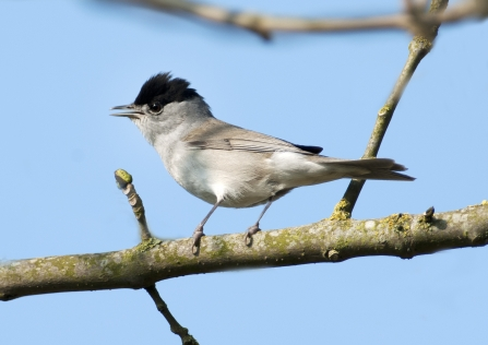 Blackcap Attenborough NottsWT cpt Jacqui Grafton