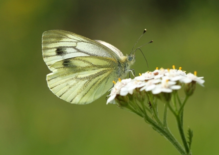 Green Veined White Notts WT cpt Jon Hawkins
