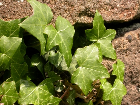 Ivy plant on wall Wildnet cpt Philip Precey wildlifetrusts_40331981238