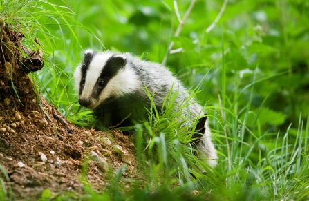 Badger Notts Wt cpt Elliott Neep NeepImages.com (6) Cropped Credit