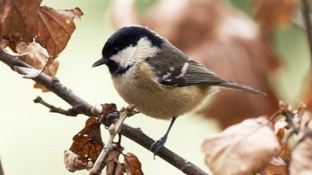 Coal Tit in Autumn