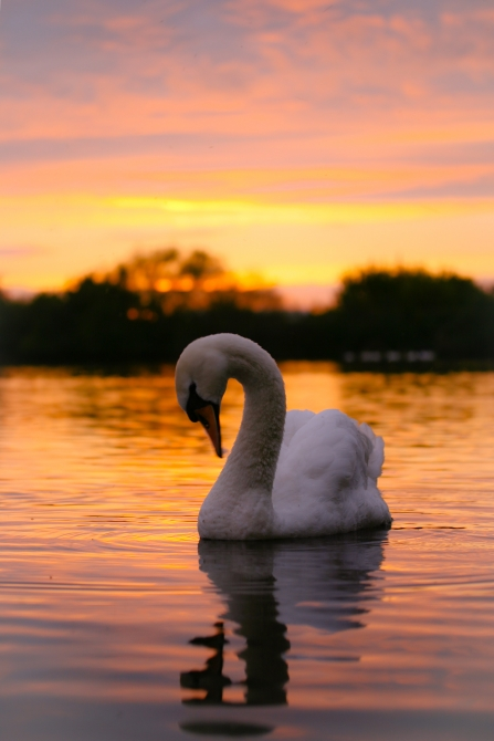 Sunset Swan at Attenborough Tim Sexton