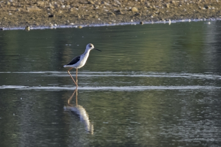 Black-winged Stilt at Idle Valley