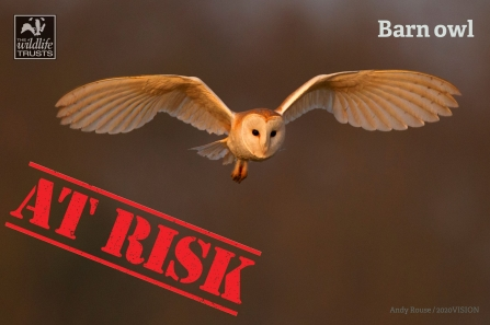 Barn Owl at Risk