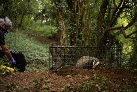 Badger in humane cage about to be vaccinated against bTB