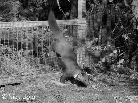 A pine marten being released back into the wild