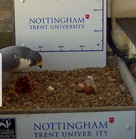 Peregrine chick in nest