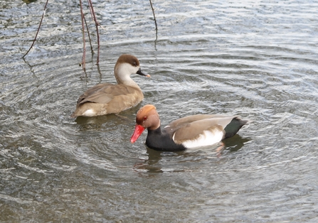 Pair of red-crested pochard