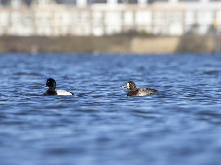 Pair of scaup
