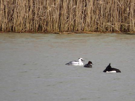Pair of smew