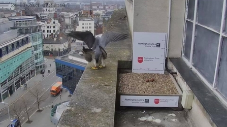 Archie and new female peregrine mating 24th March 8am