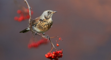 Fieldfare (Turdus pilaris), perched on branch with rowan berries,Clwyd, November 2009, - Richard Steel/2020VISION