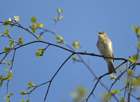 Willow Warbler ©Chris Gomersall 2020Vision