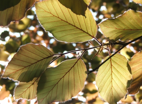 leaves at Clumber (3) Notts WT