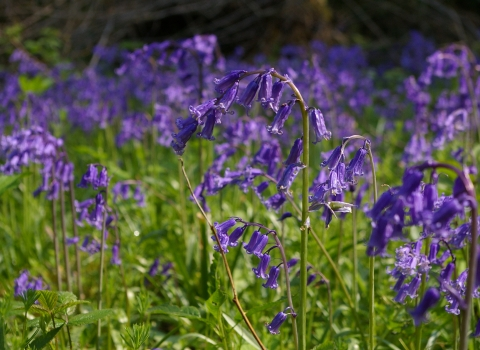 Bluebells Nottinghamshire Wildlife Trust Chris Terrell-Nield