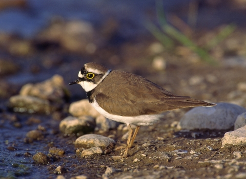 Little Ringed Plover Nottinghamshire Wildlife Trust Mike Vickers