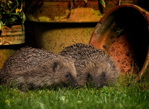 Two hedgehogs in a garden at night